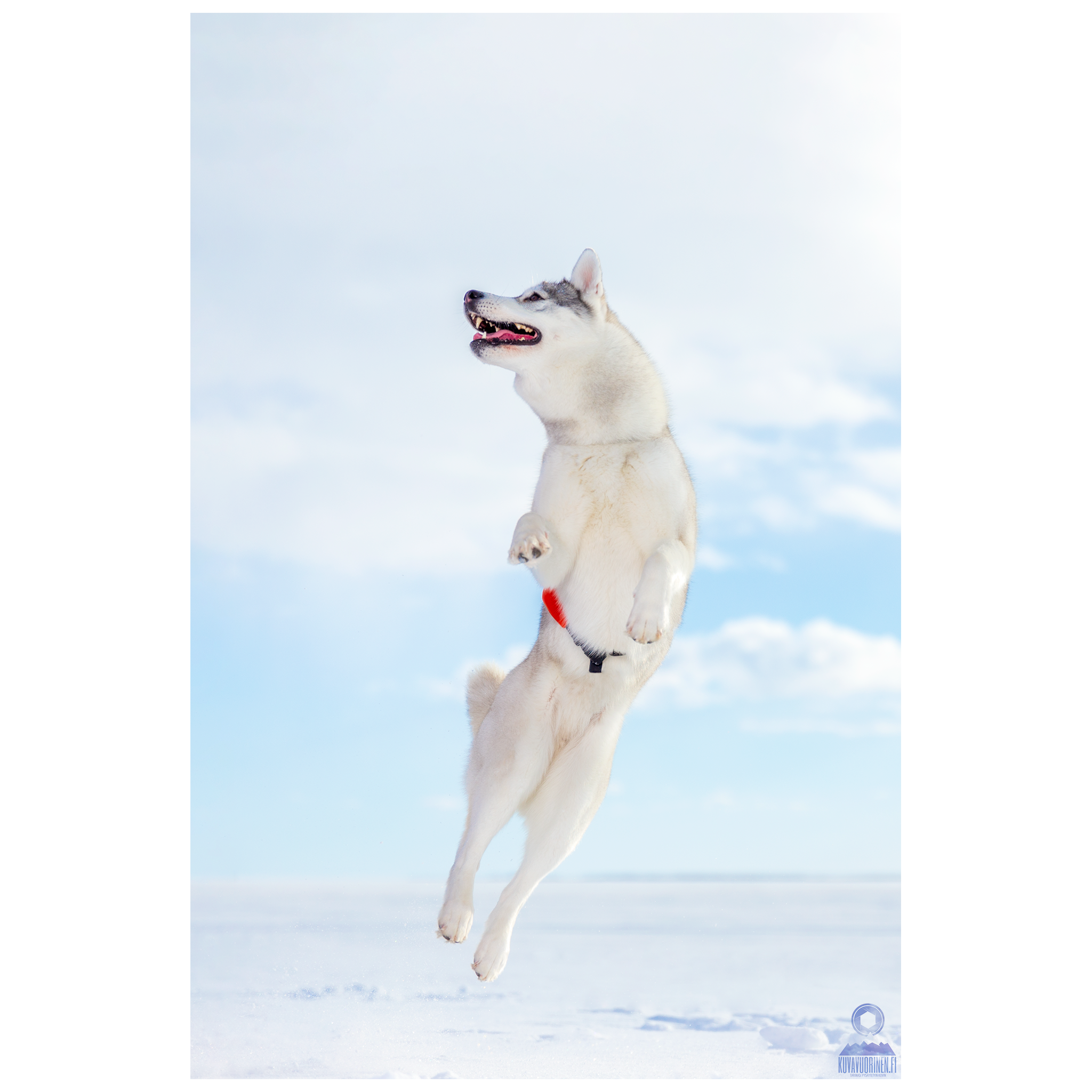 Mila-Husky-koira_0047-FB