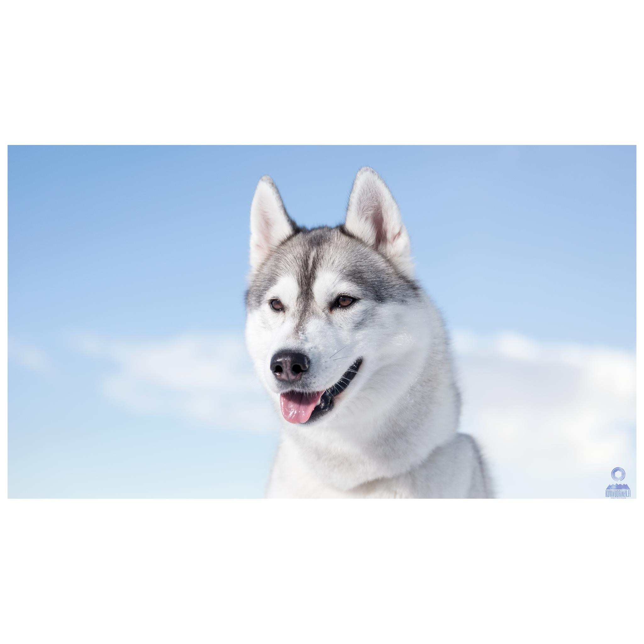 Mila-Husky-koira_0223-FB